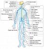 Click image for larger version.  Name:Nervous_system_diagram-en.svg.png Views:37 Size:52.9 KB ID:19594